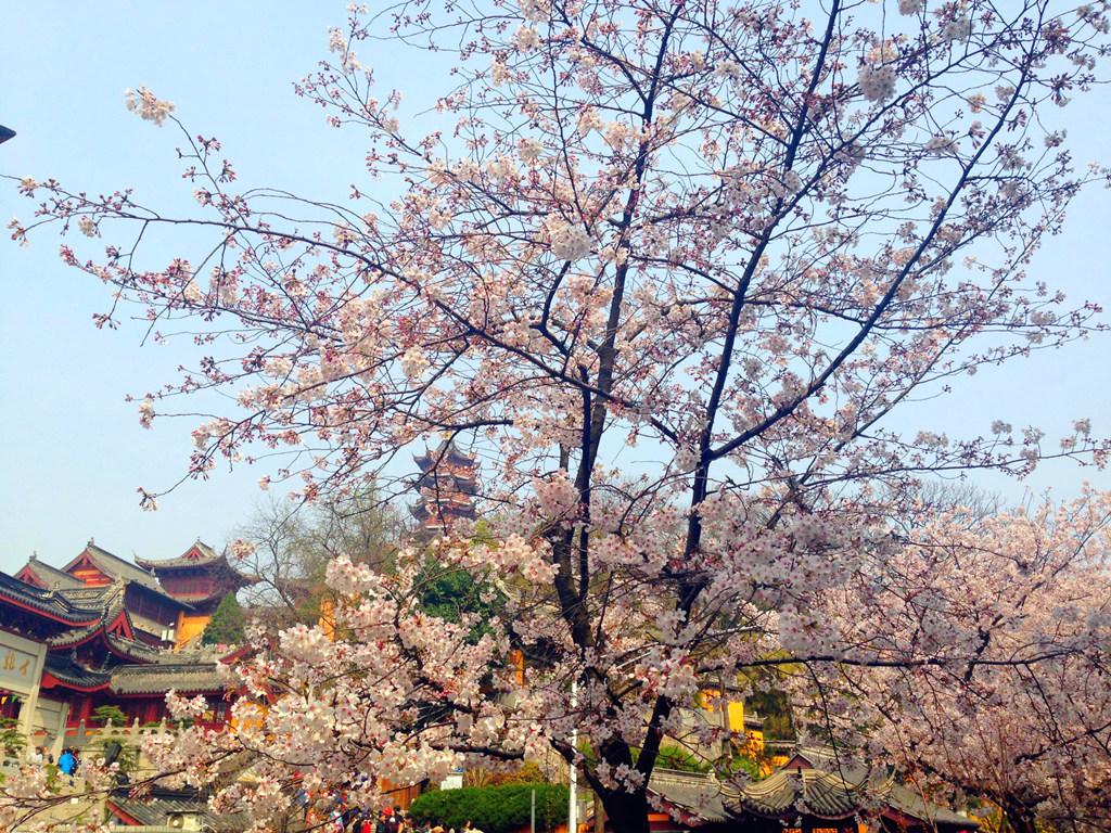 鸡鸣寺樱花